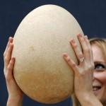 """¡Impresionante! Harán una subasta con un huevo de """"avelefante"""""""